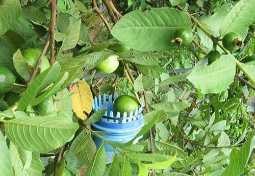 dụng cụ hái trái cây trên cao
