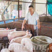 Nuôi lợn thịt bao lâu thì xuất chuồng? Kinh nghiệm nuôi lợn thành công