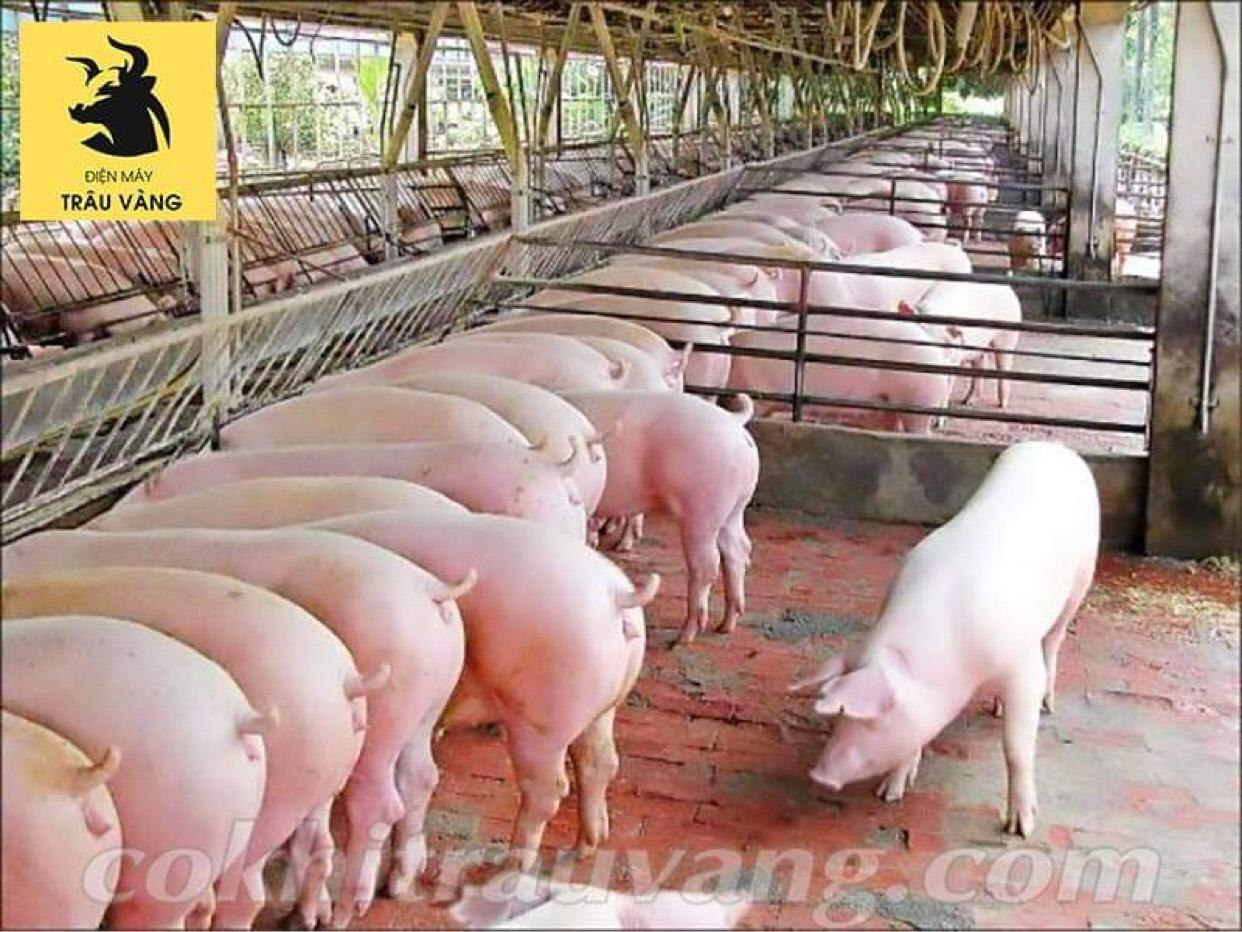 chăn nuôi lợn