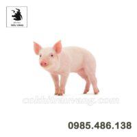 Làm giàu từ mô hình chăn nuôi lợn hiện đại