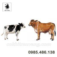 Khởi nghiệp cùng mô hình chăn nuôi bò