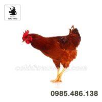 Top những mô hình chăn nuôi gà ưa chuộng nhất hiện nay